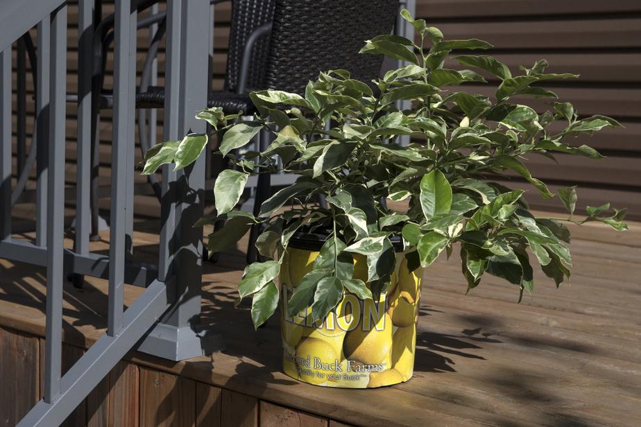Un citronnier pourra éventuellement produire abondamment ses fruits. Il devra être rentré dans la maison avant les premiers gels.