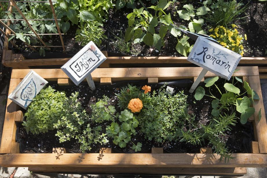 La majorité des fines herbes ont leur place sur le balcon ou la terrasse. Ici, des tagètes aux fleurs comestibles, du céleri feuille, du thym citronné, du basilic Spicy Globe et du romarin.