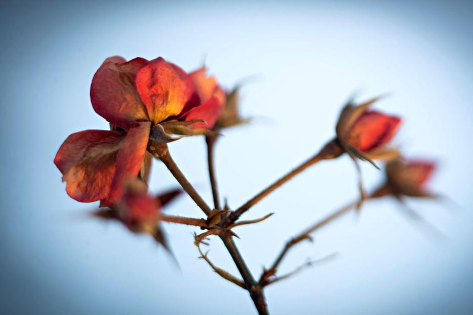 Même frigorifiées, ces petites roses «Flower Carpet Red» conservent leur charme.