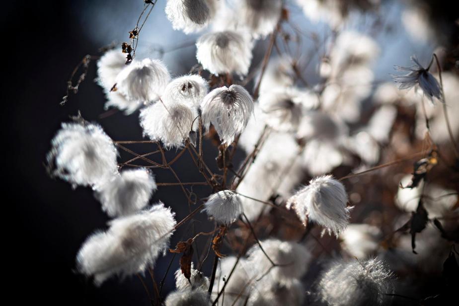 La clématite «Summer Snow», splendeur d'hiver