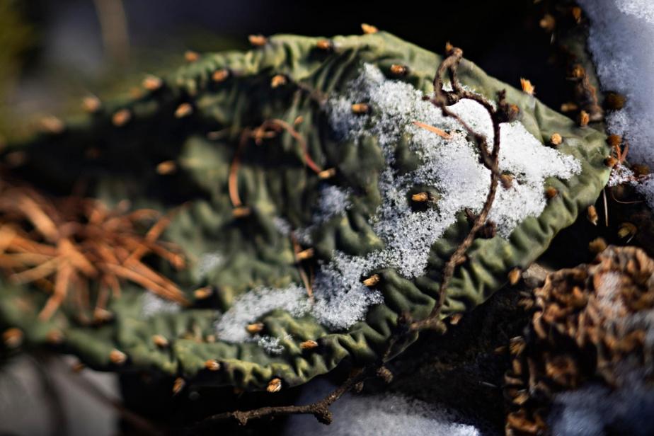 «Dégonflée» l'hiver, cette raquette d'Opuntia humifisa, un cactus vivace, reprendra du tonus en mai et fleurira enjuin.