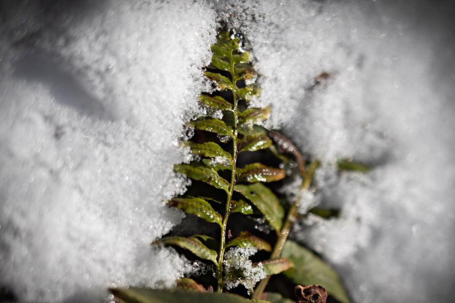 Plusieurs fougères restent vertes au cours de l'hiver.