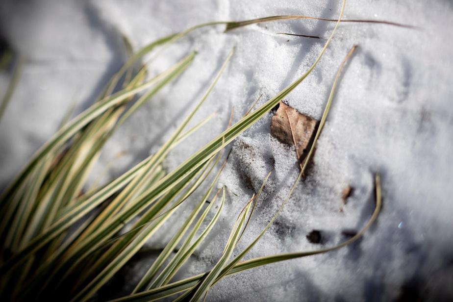 Une graminée étend son feuillage sur la neige.