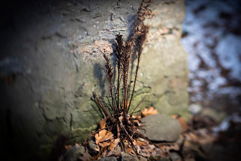 Blottie contre un mur, cette fougère va survivre jusqu'au printemps.