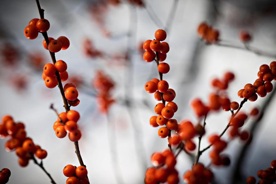 Plante indigène, le houx verticillé conserve ses fruits une grande partie de l'hiver. Attention: il faut un plant mâle et un plant femelle pour avoir droit au spectacle.