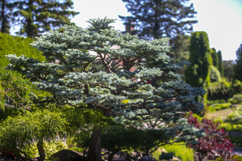 Huguette Larocque a développé une technique particulière pour la sculpture des arbres, qui s'apparente à celle utilisée pour tailler les bonsaïs. Elle a ainsi donné un style asiatique à cette épinette bleue.