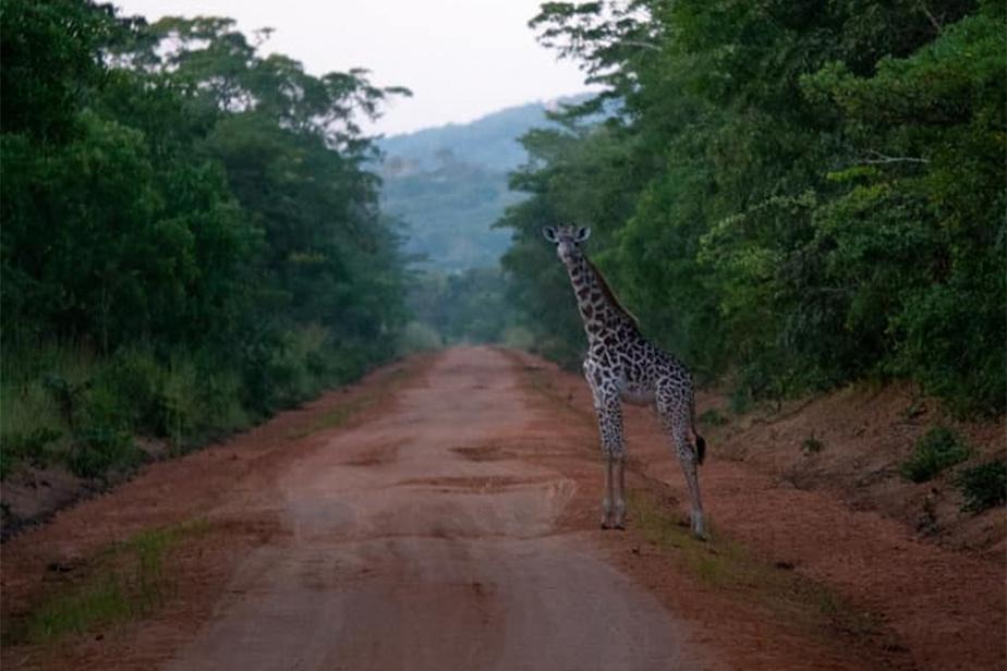 Ici, on ne se méfie pas des traversées d'orignaux sur la chaussée, mais plutôt de celle des girafes, éléphants et autres représentants de la faune locale.