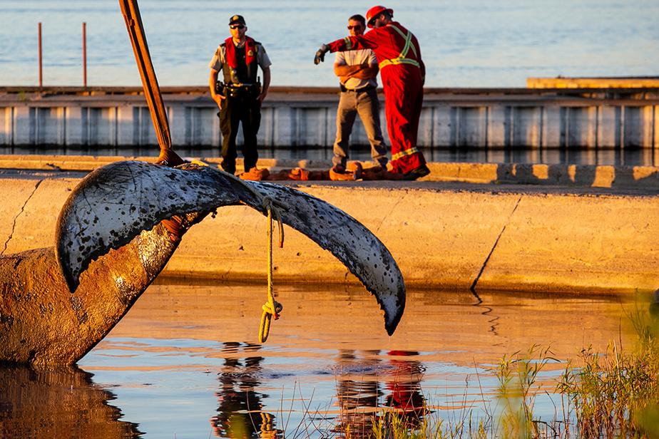 L'épopée inusitée de la baleine à bosse s'est terminée sur une triste note, après un séjour de plusieurs jours près du pont Jacques-Cartier, à Montréal. Retrouvé mort mardi matin, dans le secteur de l'île Beauregard, près de Varennes, l'imposant mammifère marin a été remorqué jusqu'à Sainte-Anne-de-Sorel.