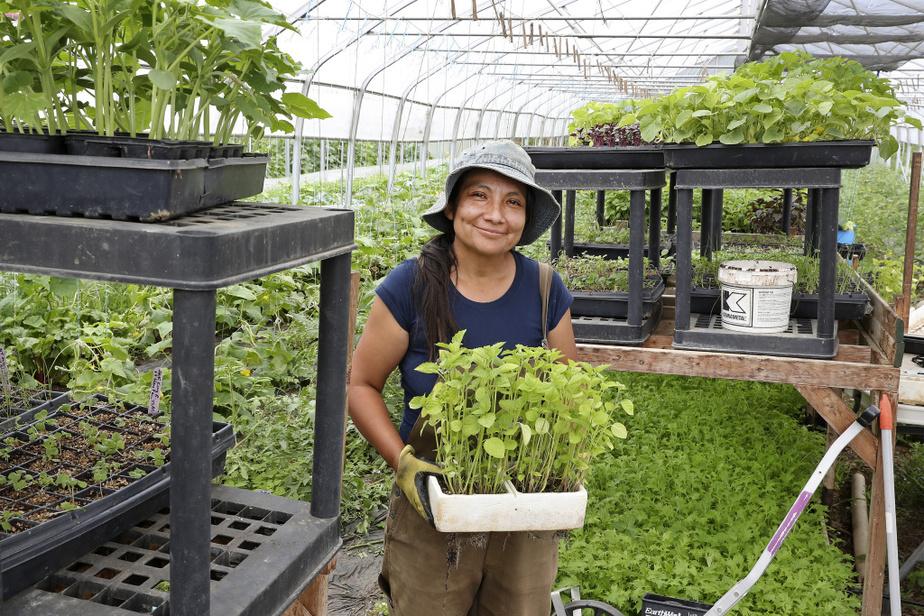 Plants de tomatilles dans la serre luxuriante de Sylvia Meriles. «Quand j'ai démarré mon projet, c'était surtout pour les restaurants et les épiceries latino-américaines, dit la maraîchère. Mais ce n'était pas assez pour que je gagne ma vie.» L'entrepreneure s'est tournée vers les paniers de légumes biologiques variés — elle en prépare 70 par semaine, tous réservés d'avance.