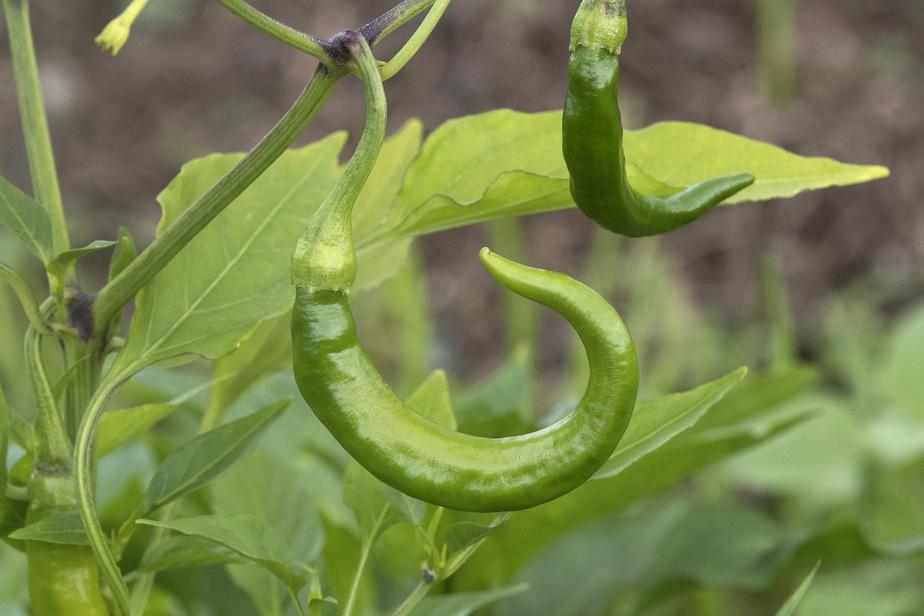 Plant de piment Amber des Jardins Épicés. Sylvia Meriles cultive aussi des jalapeños et des piments rocoto, du Pérou.