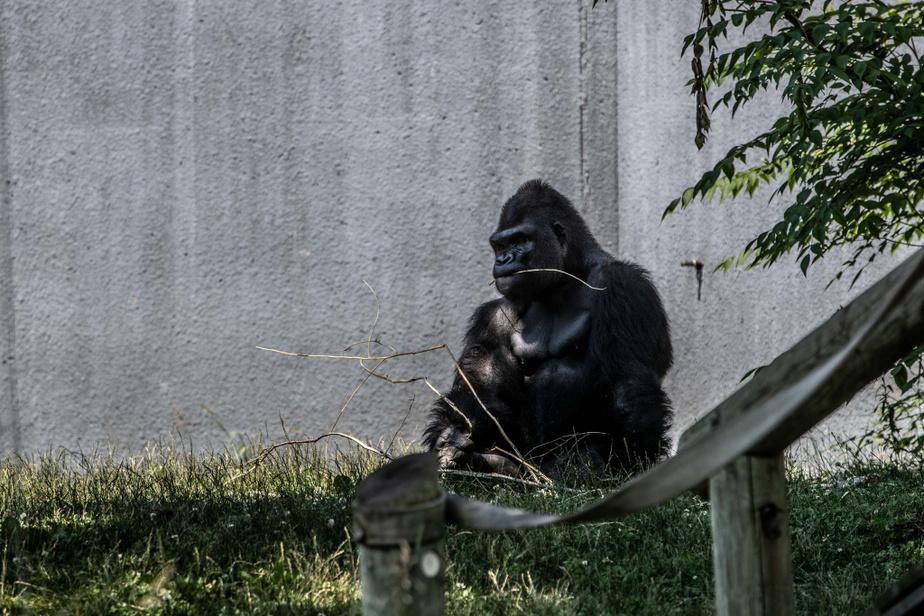 Un des deux nouveaux gorilles qui ont fait leur arrivée au Zoo deGranby.