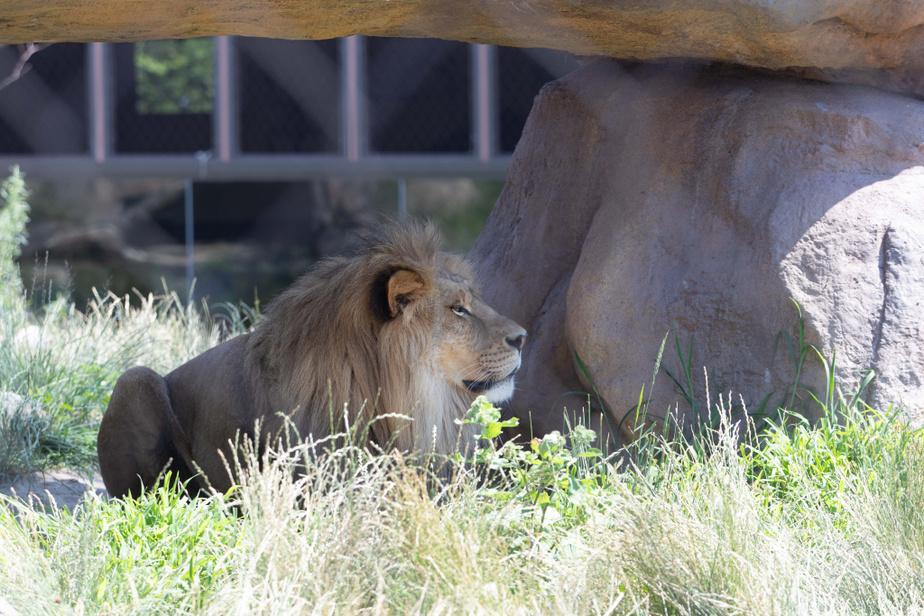 Un lion se prélasse à l'ombre.