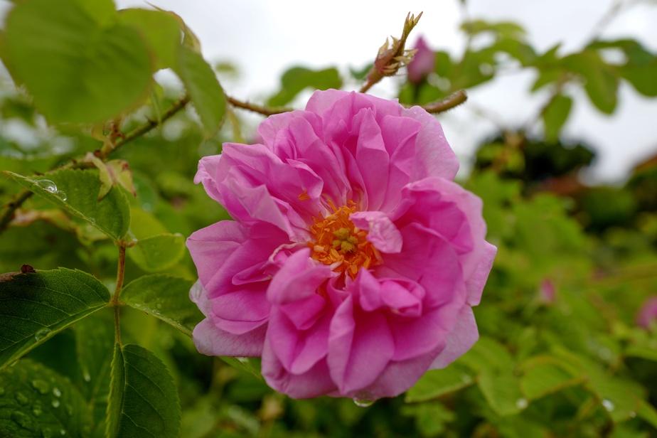 Le seul outil de cueillette est la main, car il ne faut pas toucher le cœur de la rose. Grasse a été inscrite au patrimoine immatériel de l'UNESCO en 2018pour ses savoir-faire liés au parfum.