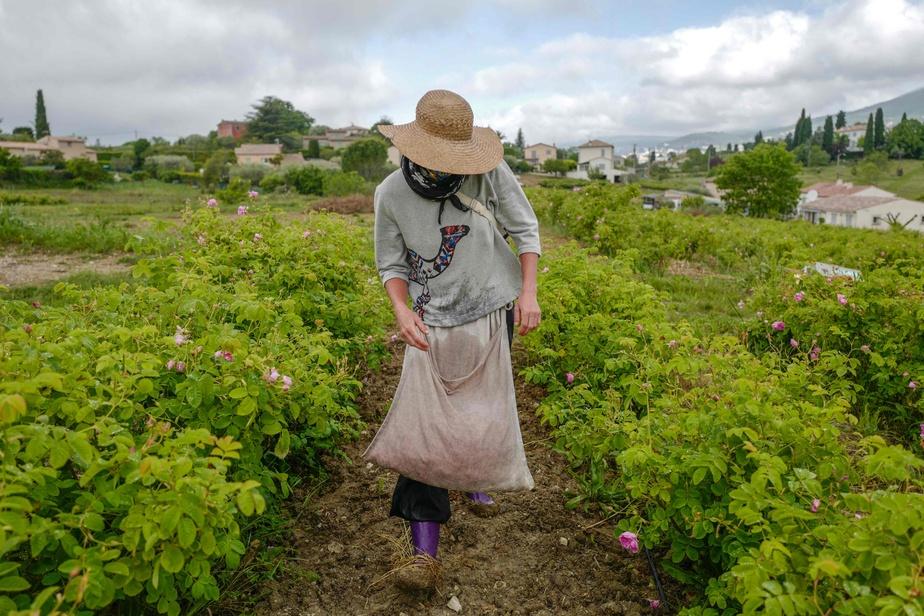 Moins physique que le jasmin dont les récolteurs démarrent à l'aube et travaillent courbés, la cueillette de la rose centifolia ou rose à cent-feuilles, commence vers 9h. Tout cesse impérativement avant 13hquand le soleil tape trop fort.