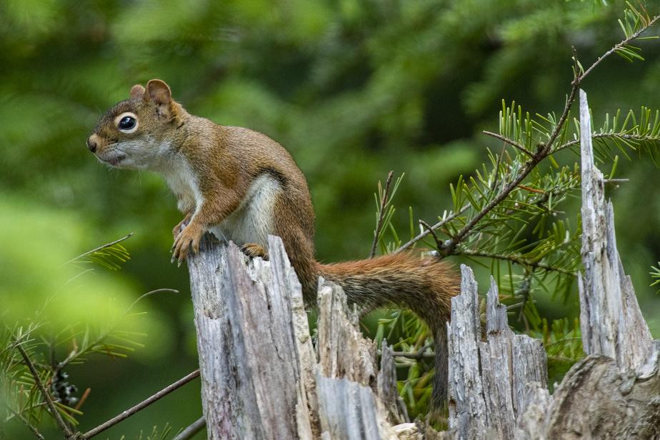 Un écureuil juché sur la cime d'un arbre mort
