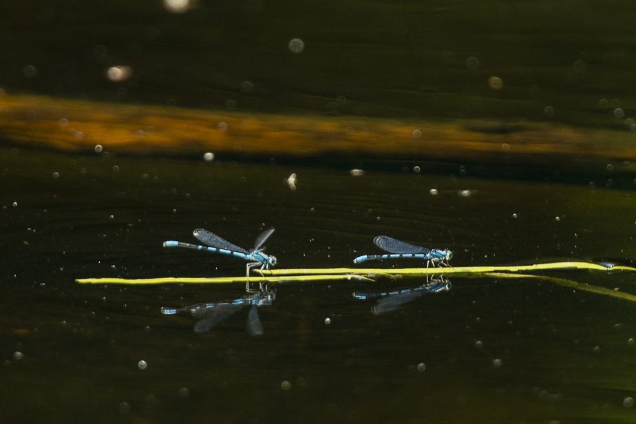 Des libellules sur le lac Amigo
