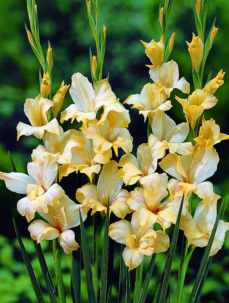 Le glaïeul produit de grandes grappes de fleurs d'une hauteur de 50 à 100cm, qui font de magnifiques bouquets aux couleurs variées. À planter directement dans un sol réchauffé.
