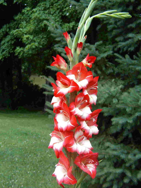 Les glaïeuls nains (Gladiolus nanus) sont naturellement plus rustiques que les grands glaïeuls (hybrides grandiflores). Recouverts d'une épaisse couche de paillis, puis de neige, certains arrivent à survivre au froid en pleine terre.