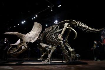 Plus grand tricératops connu Le sort de «Big John»se joue aux enchères à Paris