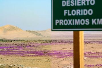 Chili Le spectacle irrégulier du «désert fleuri» de retour dans l'Atacama